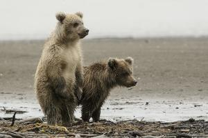 Two Brown Bear Cubs at Silver Salmon Creek Lodge in Lake Clark National Park by Charles Smith