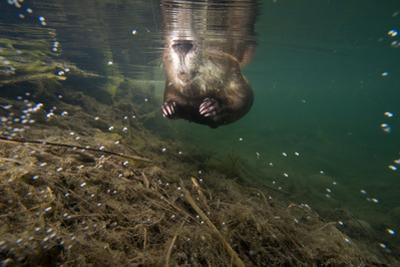 A beaver swimming on the surface of the water in Grand Teton National Park. by Charlie Hamilton James