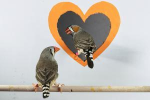 A bonded pair of zebra finches coordinate their behaviors and jointly solve problems. by Charlie Hamilton James