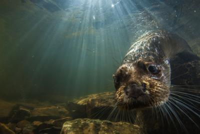 A Female Otter Swims in a River in Western England by Charlie Hamilton James