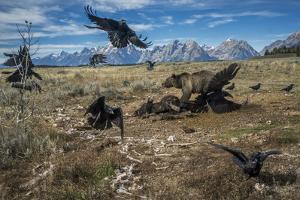 A grizzly bear fends off ravens to feed on a bison carcass. by Charlie Hamilton James