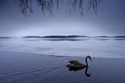 A Lone Whooper Swan Rests at the Edge of a Lake by Charlie Hamilton James