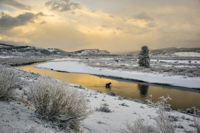 A Moose Fords Buffalo Fork River Near Grand Teton by Charlie Hamilton James