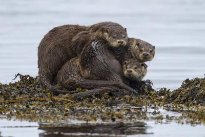 A Mother Otter and Two Male Cubs at the Water's Edge by Charlie Hamilton James