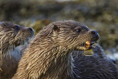 A Mother Otter, with Male Cub, Eats a Rockling Fish by Charlie Hamilton James
