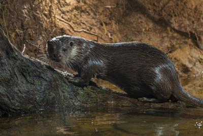 A Pregnant Female Otter on a Log in Western England by Charlie Hamilton James