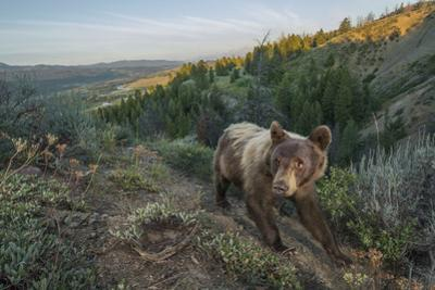 A remote camera captures a black bear walking a game trail by Charlie Hamilton James