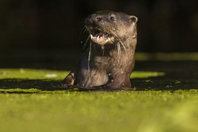 An Otter in the River Stour Pops Up from a Dive with a Fish by Charlie Hamilton James