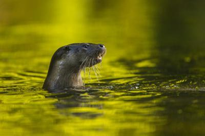 An Otter in the River Stour Pops Up from a Dive by Charlie Hamilton James
