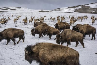 Bison and Elk Share Winter Ranges in the National Elk Refuge Near Jackson, Wyoming by Charlie Hamilton James