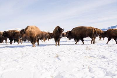 Bison in the 24,700-Acre National Elk Refuge Near Jackson, Wyoming by Charlie Hamilton James