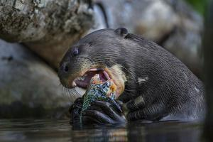 The Giant Otter Grows Up to Six Feet Long and Eats Up to Eight Pounds of Fish a Day by Charlie Hamilton James