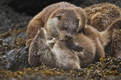 Two Otter Cubs Mock Fight on a Seaweed Covered Rock by Charlie Hamilton James