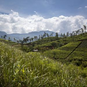 Tea Plantations in the Hill Country, Sri Lanka, Asia by Charlie Harding