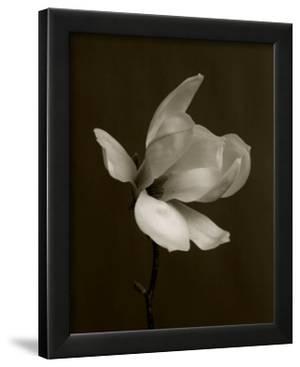 White Magnolia Flower by Charlie Hopkinson