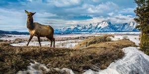 A Remote Camera Captures an Elk in the National Elk Refuge Near Jackson, Wyoming by Charlie James
