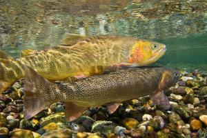 Cutthroat Trout Spawning in the Gros Ventre River by Charlie James