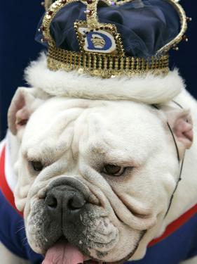 Bulldog Beauty by Charlie Neibergall
