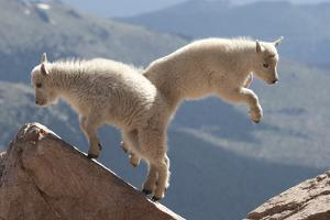 Juvenile Rocky Mountain Goats (Oreamnos Americanus) Playing on the Top of a Rocky Outcrop by Charlie Summers