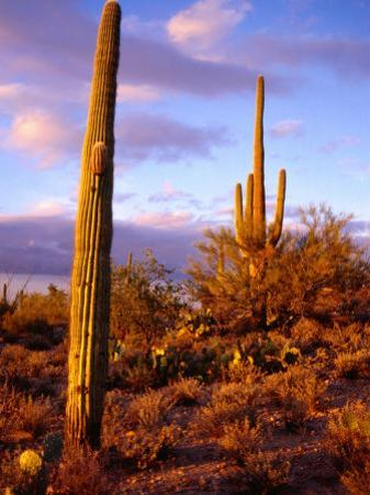 Cacti with Clouds in Background, Saguaro National Park, USA by Charlotte Hindle