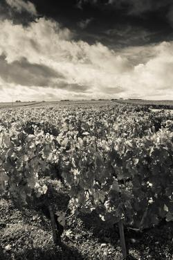 Chateau Lafite Rothschild Vineyards in Autumn, Pauillac, Haut Medoc, Gironde, Aquitaine, France