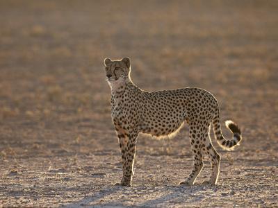 https://imgc.allpostersimages.com/img/posters/cheetah-acinonyx-jubatus-backlit-on-the-dry-auob-river_u-L-PWFRVM0.jpg?p=0