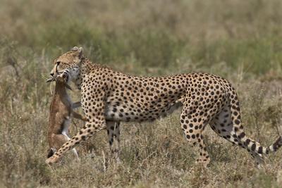 https://imgc.allpostersimages.com/img/posters/cheetah-acinonyx-jubatus-carrying-a-thomson-s-gazelle-gazella-thomsonii-calf_u-L-PWFBWK0.jpg?p=0