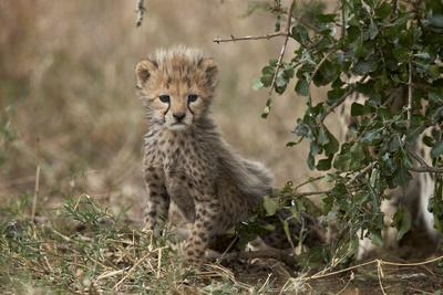 https://imgc.allpostersimages.com/img/posters/cheetah-acinonyx-jubatus-cub-about-a-month-old_u-L-PWFGT30.jpg?p=0