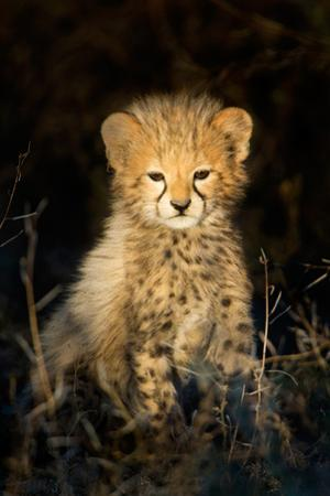 Cheetah (Acinonyx Jubatus) Cub in a Forest, Ndutu, Ngorongoro Conservation Area, Tanzania