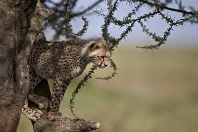 https://imgc.allpostersimages.com/img/posters/cheetah-acinonyx-jubatus-cub-in-an-acacia-tree_u-L-PWFB4A0.jpg?p=0