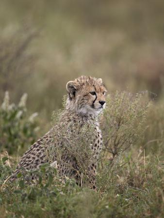 https://imgc.allpostersimages.com/img/posters/cheetah-acinonyx-jubatus-cub-serengeti-national-park-tanzania-east-africa-africa_u-L-PWFCQ00.jpg?p=0