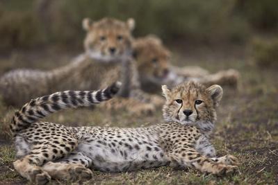 https://imgc.allpostersimages.com/img/posters/cheetah-acinonyx-jubatus-cub-serengeti-national-park-tanzania-east-africa-africa_u-L-PWFDBI0.jpg?p=0