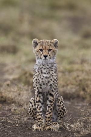https://imgc.allpostersimages.com/img/posters/cheetah-acinonyx-jubatus-cub-serengeti-national-park-tanzania-east-africa-africa_u-L-PWFE1V0.jpg?p=0