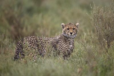 https://imgc.allpostersimages.com/img/posters/cheetah-acinonyx-jubatus-cub-serengeti-national-park-tanzania-east-africa-africa_u-L-PWFE3J0.jpg?p=0