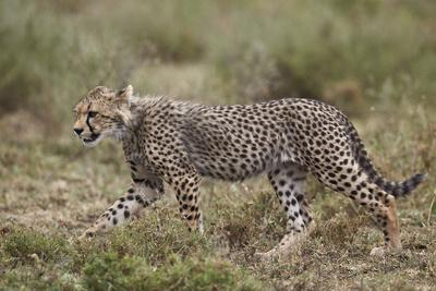 https://imgc.allpostersimages.com/img/posters/cheetah-acinonyx-jubatus-cub-serengeti-national-park-tanzania-east-africa-africa_u-L-PWFJM30.jpg?artPerspective=n