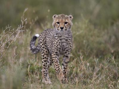 https://imgc.allpostersimages.com/img/posters/cheetah-acinonyx-jubatus-cub-serengeti-national-park-tanzania-east-africa-africa_u-L-PWFRUQ0.jpg?p=0
