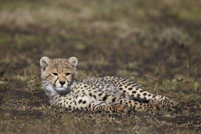 https://imgc.allpostersimages.com/img/posters/cheetah-acinonyx-jubatus-cub_u-L-PWFCLQ0.jpg?p=0