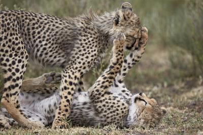https://imgc.allpostersimages.com/img/posters/cheetah-acinonyx-jubatus-cubs-playing-serengeti-national-park-tanzania-east-africa-africa_u-L-PWFDH60.jpg?p=0