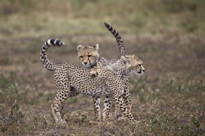 https://imgc.allpostersimages.com/img/posters/cheetah-acinonyx-jubatus-cubs-playing-serengeti-national-park-tanzania-east-africa-africa_u-L-PWFFE70.jpg?p=0