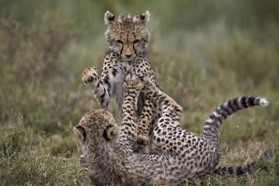 https://imgc.allpostersimages.com/img/posters/cheetah-acinonyx-jubatus-cubs-playing-serengeti-national-park-tanzania-east-africa-africa_u-L-PWFKAR0.jpg?p=0