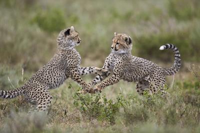 https://imgc.allpostersimages.com/img/posters/cheetah-acinonyx-jubatus-cubs-playing-serengeti-national-park-tanzania-east-africa-africa_u-L-PWFKBF0.jpg?p=0