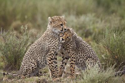 https://imgc.allpostersimages.com/img/posters/cheetah-acinonyx-jubatus-cubs-serengeti-national-park-tanzania-east-africa-africa_u-L-PWFJMR0.jpg?p=0