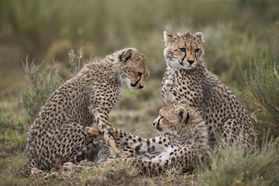 https://imgc.allpostersimages.com/img/posters/cheetah-acinonyx-jubatus-cubs-serengeti-national-park-tanzania-east-africa-africa_u-L-PWFKB30.jpg?p=0