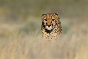 Cheetah (Acinonyx Jubatus) in a Field, Etosha National Park, Namibia
