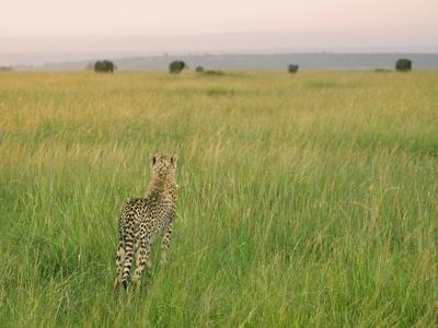 https://imgc.allpostersimages.com/img/posters/cheetah-acinonyx-jubatus-in-the-grass-maasai-mara-national-reserve-kenya_u-L-PHAQ6W0.jpg?p=0