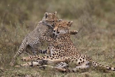https://imgc.allpostersimages.com/img/posters/cheetah-acinonyx-jubatus-mother-and-cub-serengeti-national-park-tanzania-east-africa-africa_u-L-PWFGSF0.jpg?p=0