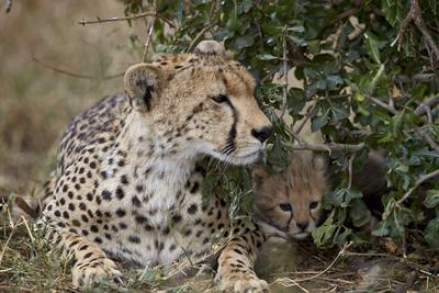 https://imgc.allpostersimages.com/img/posters/cheetah-acinonyx-jubatus-mother-and-cub_u-L-PWFJN30.jpg?artPerspective=n