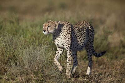 https://imgc.allpostersimages.com/img/posters/cheetah-acinonyx-jubatus-ngorongoro-conservation-area-serengeti-tanzania-east-africa-africa_u-L-PWFESJ0.jpg?p=0