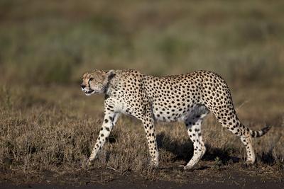 https://imgc.allpostersimages.com/img/posters/cheetah-acinonyx-jubatus-ngorongoro-conservation-area-serengeti-tanzania-east-africa-africa_u-L-PWFKCF0.jpg?p=0