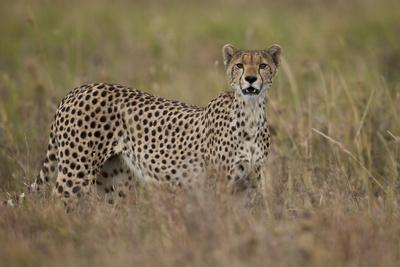 https://imgc.allpostersimages.com/img/posters/cheetah-acinonyx-jubatus-serengeti-national-park-tanzania-east-africa-africa_u-L-PWFB4Y0.jpg?p=0